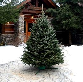 0000070_fresh-cut-and-living-christmas-trees_269